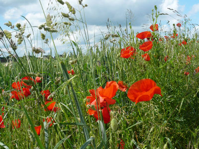 Normandy poppies by Anne Edwards